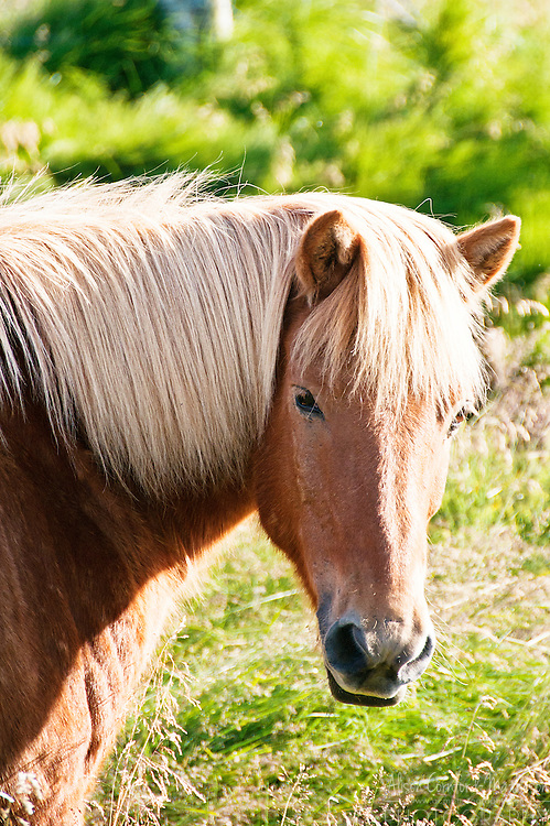 The Icelandic Horse is a small breed, known for its distinct gate. One an Icelandic Horse leaves the island it is never allowed to return, to control disease.