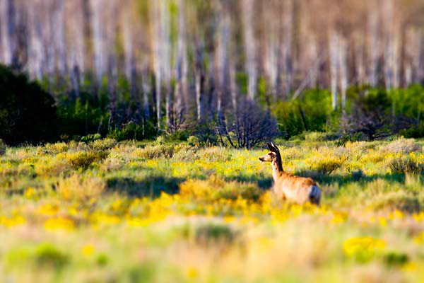 A deer in the morning at Great Sand Dunes National Park.