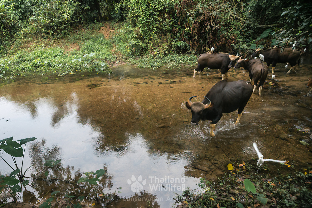 The gaur (Bos gaurus), also called Indian bison, is the largest extant bovine, native to South  and Southeast Asia. Here seen in the Kaeng Krachan National Park, Thailand.