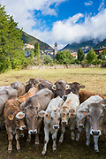 Herd of cattle in town of Biescas in Tena Valley - Valle de Tena-  Aragon, Northern Spain