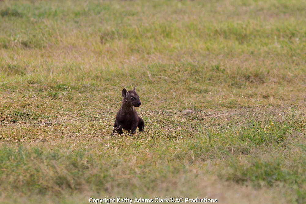 spotted hyaena, laughing hyaena, hyena, Crocuta crocuta, baby recently out of the burrow, puppy, Ngorongoro Creater, Ngorongoro Conservation Area, Tanzania, Africa.