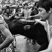 Do Son, a popular beachside town three hours east of Hanoi, plays host to an annual Buffalo Fighting Festival every autumn. Water buffalos arrive from all over the mountainous north, where farmers have had them in isolated training for months. The bulls are led into a football stadium and lock horns, the victor eventually chasing the vanquished out of the grounds to thunderous applauds from thousands of spectators, most of whom are betting heavily on the fights. The buffalos - both winners and losers - are then slaughtered in the streets outside the stadium, with their prize-fighting meat fetching a tidy sum for their owners. ..An elderly woman dressed in traditional costume awaits the arrival of a buffalo to worship and wish good luck for the next day's fights.