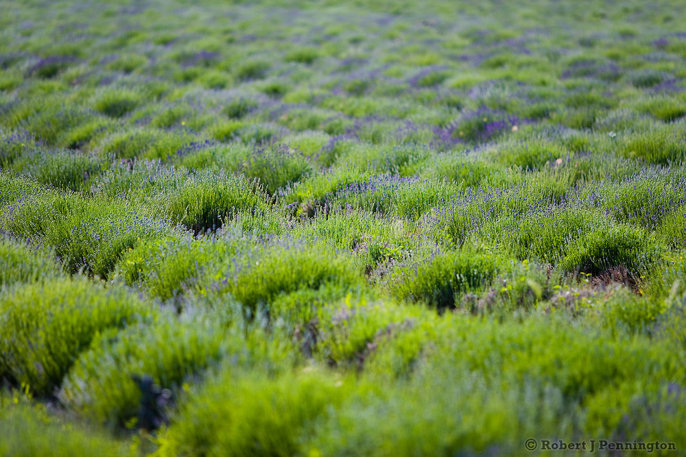 Lavender Farm in Central Utah in early morning sunlight.