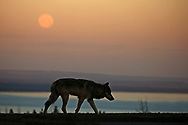 As June's Strawberry Moon lingered above Yellowstone Lake,  a lone wolf appeared on a high ridge. For a few moments, the wolf walked alone, silhouetted against the morning sky. And as quickly as he appeared....he was gone. Although this event lasted only a few seconds, it's one that I'll remember for a lifetime.