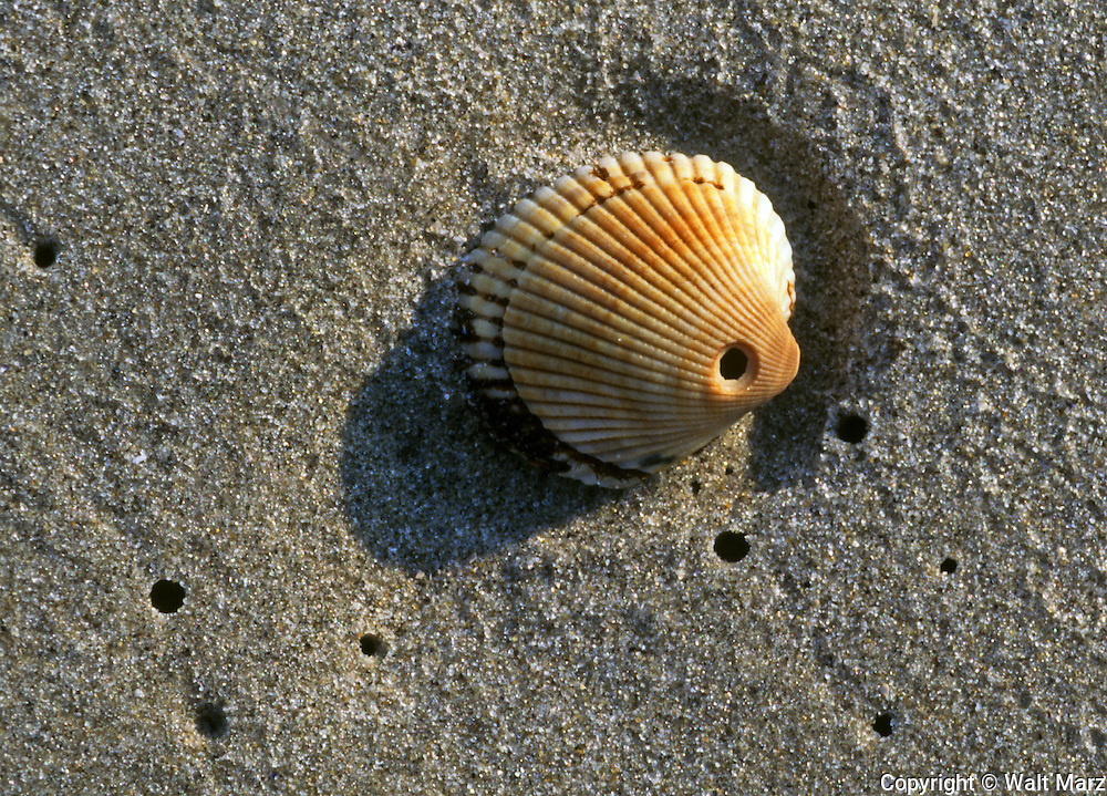 "A scene from a New Jersey beach.   The drill hole in the shell of a Bay Scallop was made by a Northern Moon Snail  (Polinices-duplicatus).   The holes in the sand are Razor Clam ""Shows"" (ensis directus}"