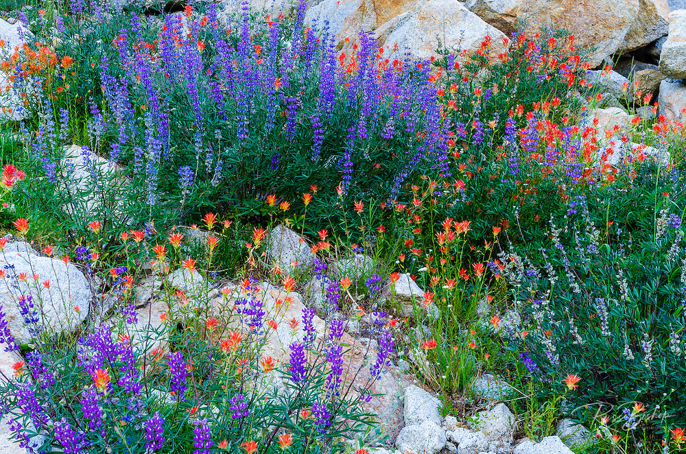 Wildflowers, Tuolumne Meadows, Yosemite National Park, California USA