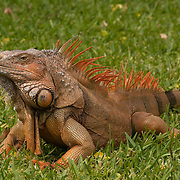 Red Iguana lying on the Grass.<br /> Cozumel, Quintana Roo.<br /> Mexico.