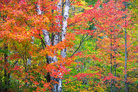 Colorful maples during autumn in Groton State Forest, Vermont