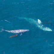 A gray whale and her calf migrate along the Central Oregon coast.