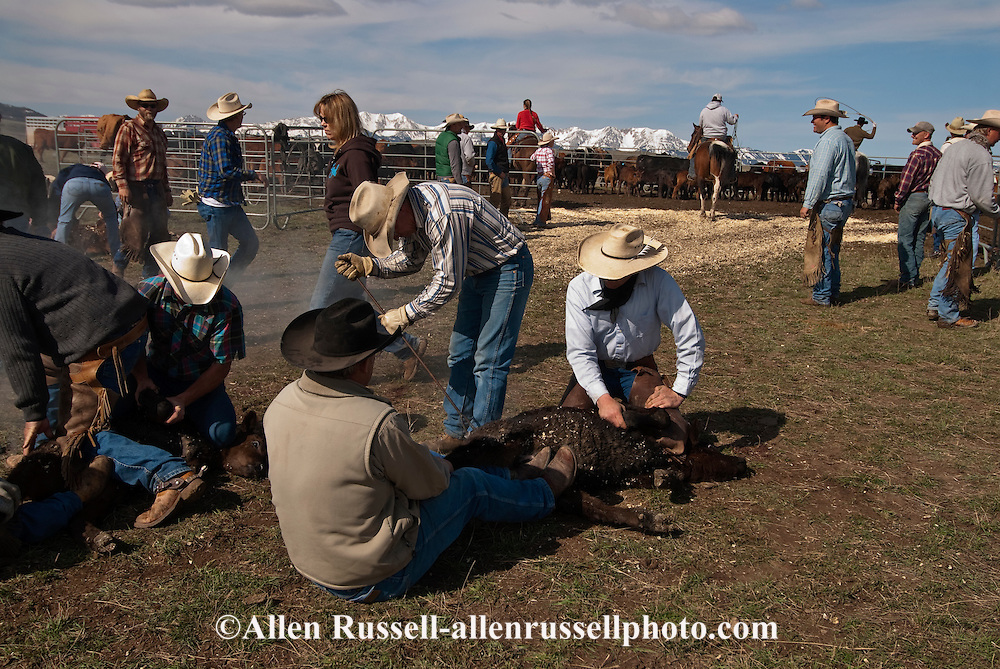 Cowboys wrestle calves at branding, Wilsall, Montana