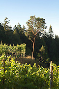 Morning Bay Vineyard and Estate Winery, North Pender Island, Gulf Islands, British Columbia, Canada.