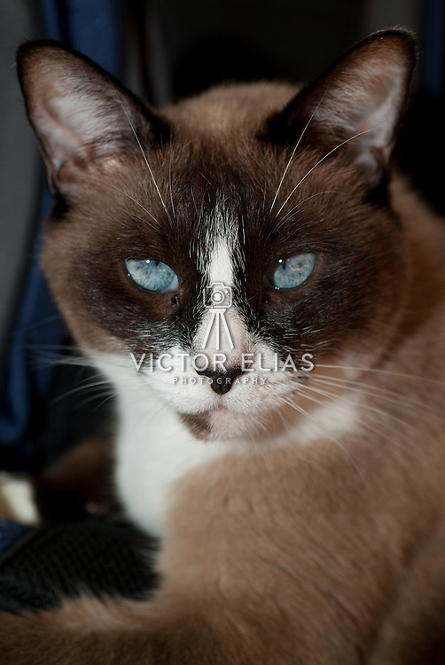 Close up of siamese cat relaxing.