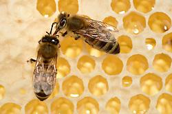 Honey bee (Apis mellifera), Kiel, Germany | Die Honigbiene (Apis mellifera) gibt den gesammelten Nektar an eine Schwester weiter, diese wird den Nektar eindicken und als Honig in den Zellen lagern.  Kiel, Deutschland