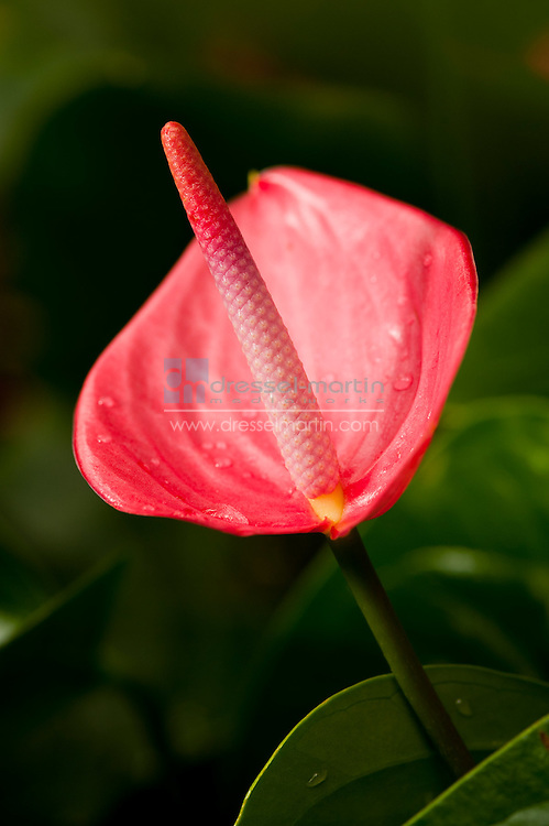 Tropical Conservatory, Anthurium 'Cotton Candy'
