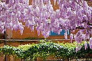 Purple Wisteria growing along Via Margutta in Rome, Italy.