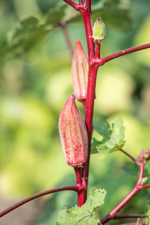 Okra (abelmoschus esculentus) growing in Ganta, Liberia