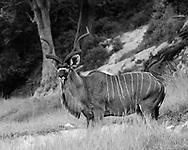 Greater kudu bull with forest along the edge of the Chobe River, Chobe National Park, Botswana, © 2019 David A. Ponton