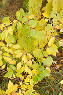 Colorful yellow autumn leaves - Black Cherry and wild grape
