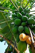 Papaya, Keanae Peninsula,Hana Coast, Maui, Hawaii