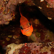 Cardinalfish or king of the mullets (Apogon imberbis) | Meerbarbenkönig (Apogon imberbis)