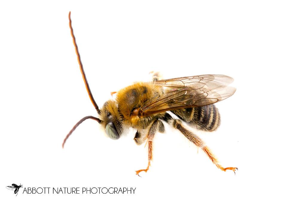 Long-horned Bee (Melissodes prob. tepaneca) - male<br /> TEXAS: Starr Co.<br /> Falcon State Park; Falcon Heights<br /> 7-Nov-2014<br /> J.C. Abbott &amp; K.K. Abbott