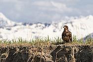 Juvenile Bald Eagle (Haliaeetus leucocephalus) perched along river bank in Southcentral Alaska. Spring. Morning.