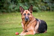 German Shepherd lying down with apple at it's feet.