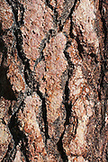 Closeup of bark on a ponderosa pine tree, Kaibab National Forest, Arizona