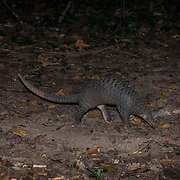 Sunda pangolin (Manis javanica), also known as the Malayan or Javan pangolin, is a critically endangered species of pangolin  found in Southeast Asia.