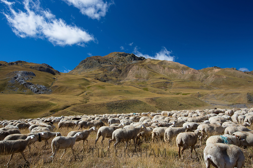 Mountain sheep and goats in Val de Tena at Formigal in the Spanish Pyrenees mountain, Northern Spain