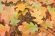 Early autumn oak leaves