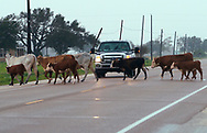 A herd of cows escaped from fencing damaged by Hurricane Harvey block a highway near Port Lavaca, Texas August 26, 2017. REUTERS/Rick Wilking