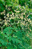 LESSER MEADOW-RUE Thalictrum minus (Ranunculaceae) Height to 1m. Variable, often short perennial of dunes, dry grassland and rocky slopes; mainly on basic soils. FLOWERS are yellowish, tinged purple, with prominent dangling stamens; in open clusters, flowers drooping at first then erect (Jun-Aug). FRUITS are dry and papery. LEAVES are pinnately divided 3 or 4 times. STATUS-Widespread but local.