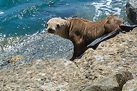 A possibly abandoned yearling California sea lion on a beach in Los Angeles, California shows that it is far too thin. This has been a common sight in recent years with far too many pups and yearlings not getting enough food to eat. Warmer waters in recent years means that the mother have to venture out further to sea to where their food is to get enough food to nourish their young.