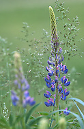 Lupine and Grass, Lupinus spp.