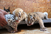 WEIHAI, CHINA - <br /> <br /> Rare Tiger Cubs Nursed By dog <br />  <br /> Four tiger cubs, two golden tigers, a snow tiger, a white tiger, are born at the Xixiakou Wildlife Zoo on June 14, 2017 at Rongcheng County in Weihai, Shandong Province of China. Baby tigers were born by a 5-year-old Bengal tiger. Working Staff of the Xixiakou Wildlife Zoo found a dog to feed the four baby tigers. <br /> ©Exclusivepix Media