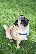 Local dogs in London - this is Alfie the pug