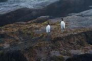 Common Murre, Machias Seal Island, Gulf of Maine