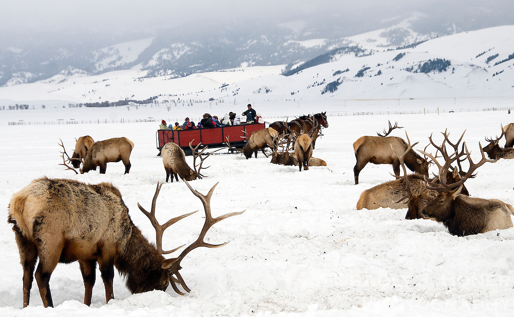 A sleigh ride on the National Elk Refuge gets participants up close to Jackson Hole's wintering elk herd.