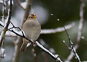 Immature White Crowned Sparrow on Snowy Branch
