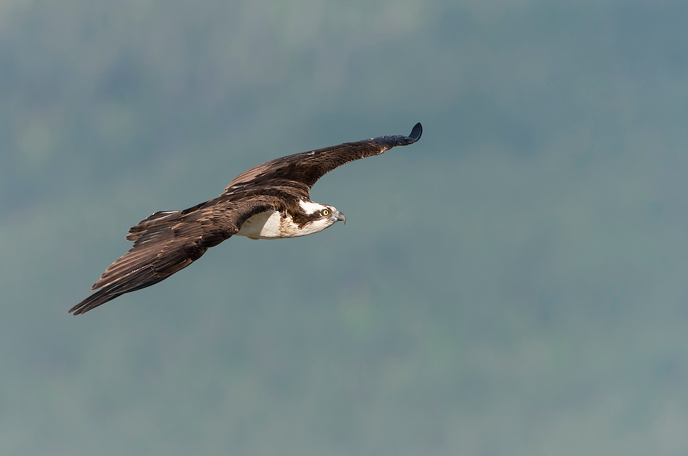 A female osprey (Pandion haliaetus) flies back to her nest in the Mission Valley of Western Montana.