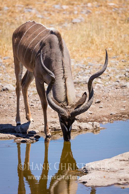 A greater kudu bull drinks from a waterhole, Etosha National Park, Africa.