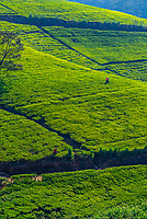 Women picking tea, tea plantation, near Nuwara Eliya, Central Province, Sri Lanka.