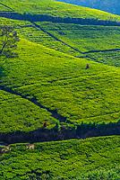 Women picking tea, tea plantation, near Nuwara Eliya, Central Province, Sri Lanka.