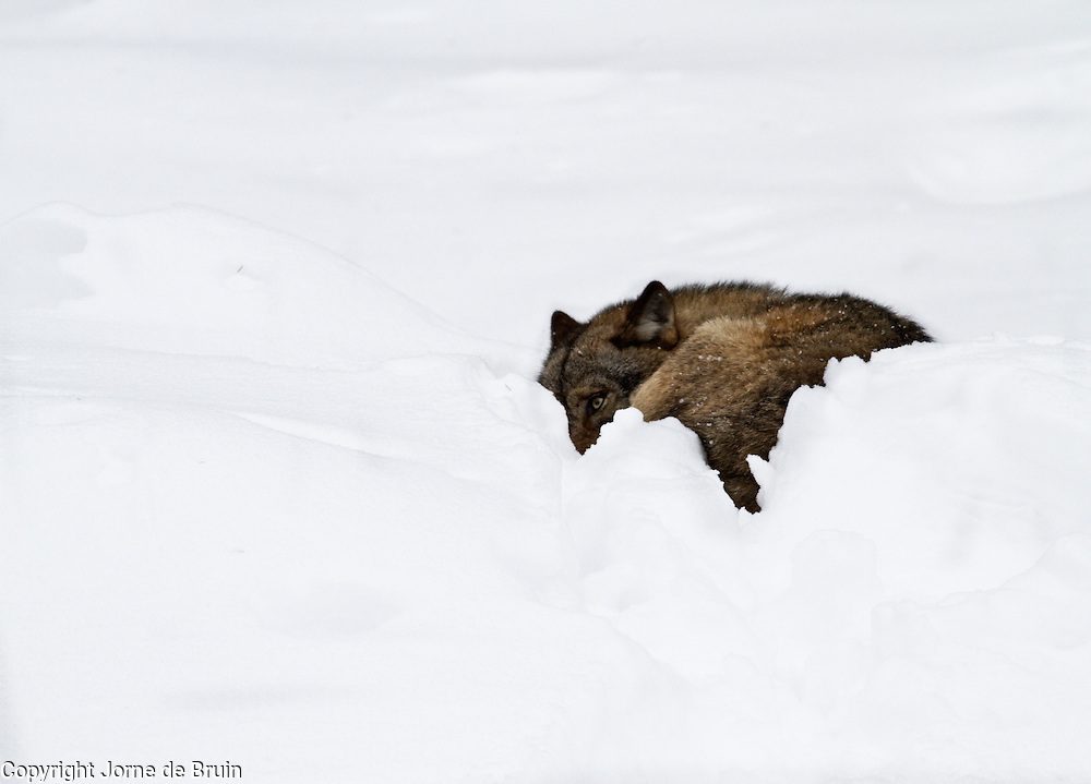 A wolf is laying in the snow in the wildlifepark of the Bavarian Forest.