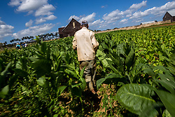 "A tobacco farmer works in the field for making Cohiba cigar in west Cuba's Pinar del Rio province, on March 1, 2016. Cohiba is the flagship brand of Cuban cigar. It was first created in 1966 for Cuban revolutionary leader Fidel Castro himself and was then top secret. It soon became Cuban gifts for heads of state and visiting diplomats. Since 1982 Cohiba has been available in limited quantities to the open market. The name ""Cohiba"" is an ancient Taino Indian word for the bunches of tobacco leaves that Columbus first saw being smoked by the original inhabitants of Cuba. EXPA Pictures © 2016, PhotoCredit: EXPA/ Photoshot/ Liu Bin<br />