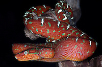 Emerald Tree Boa (Corrallus canina) Juvenile
