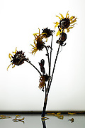 wilting sunflowers bouquet