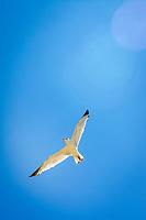 Seagull soaring through blue skies.