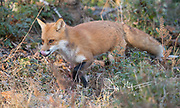 A Red fox walks through tall grass in a forest.